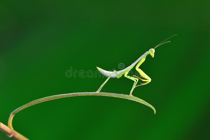 Download Mantistanzen auf Blatt stockfoto. Bild von insekt, aufbau - 26372420