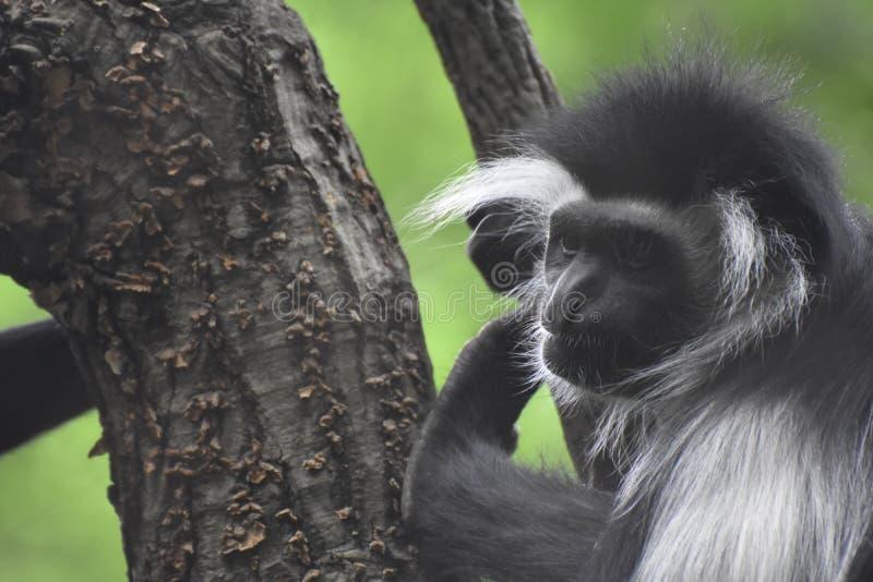 Mantled обезьяна Colobus взбираясь вверх ствол дерева стоковые изображения rf