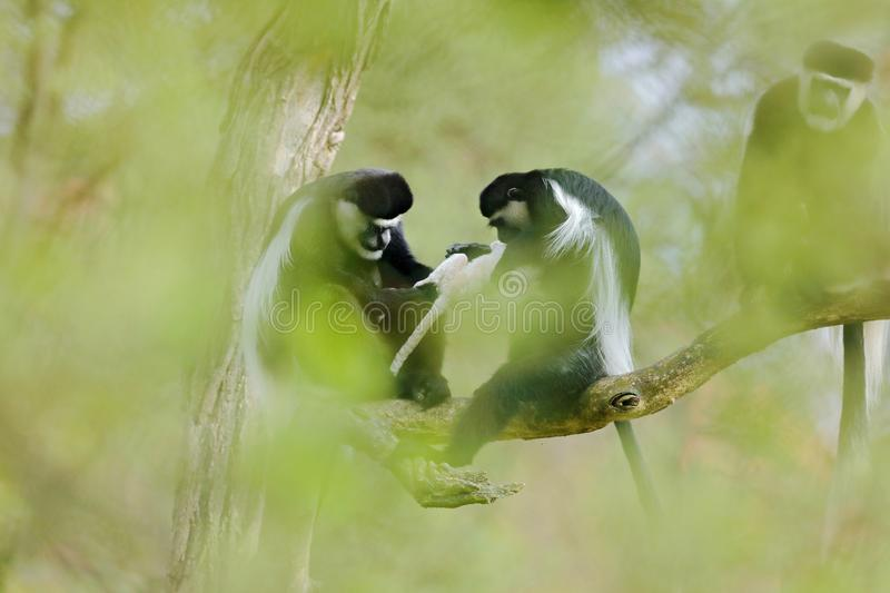 Mantled guereza, Colobus guereza, Male and female with one week old white young in hands. Monkey family on tree, green forest. Habitat in nature. Animal stock images