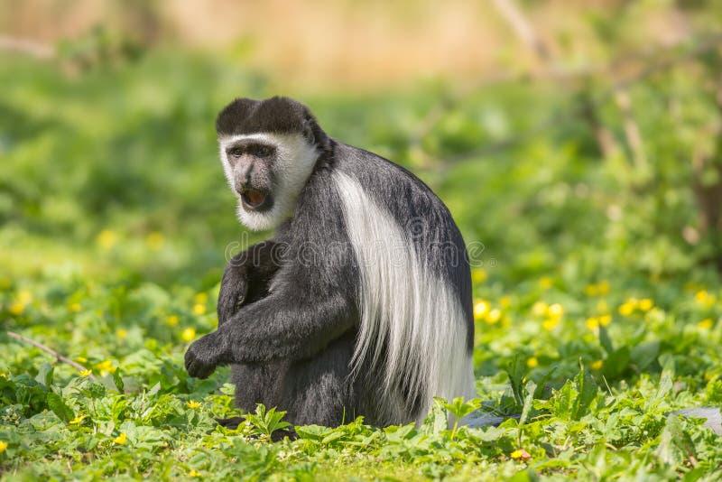 Mantled guereza także zna jako czarno biały colobus małpa zdjęcia stock