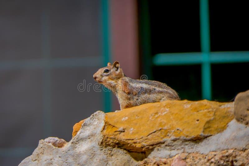 Mantled Zmielona wiewiórka w Bryka jaru parku narodowym, Utah zdjęcia stock