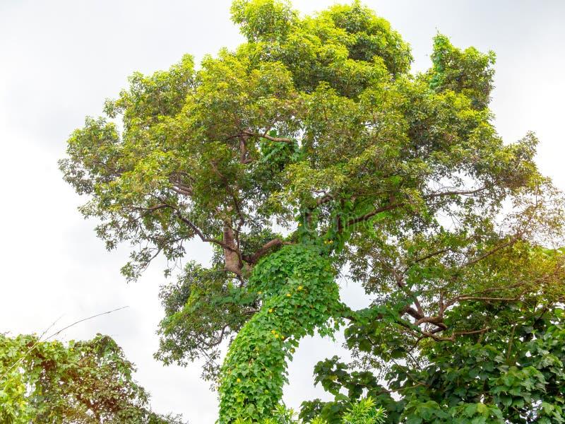 Manto vegetale del parassita sul grande albero fotografia stock
