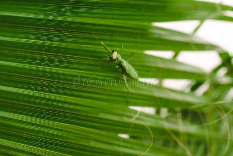 Mantodea Praying mantis wandelend op het blad van een palmboom royalty-vrije stock afbeelding