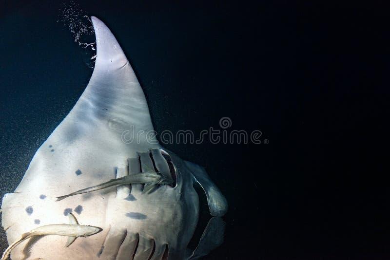 Manty je krill plancton przy nocą obraz stock