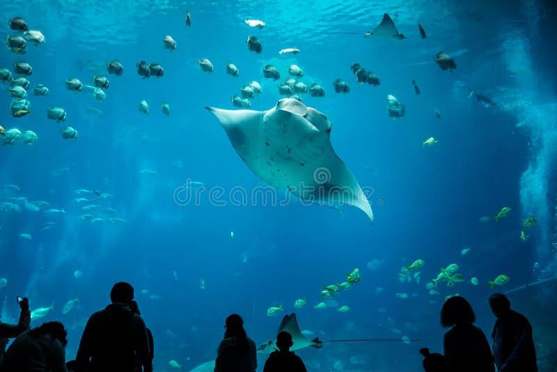 Manty Ray przy Gruzja akwarium fotografia stock