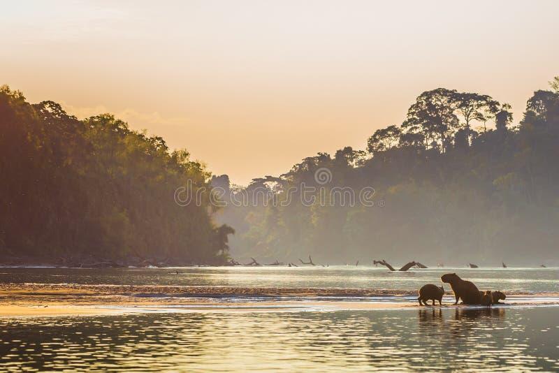 Manu National Park, Perù - 6 agosto 2017: Famiglia del capybara a fotografia stock libera da diritti