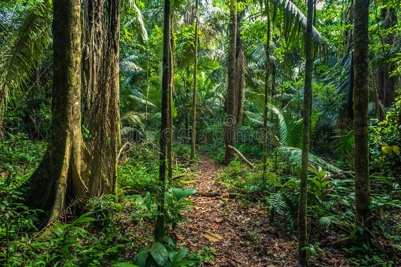 Manu National Park, Peru - August 07, 2017: Path in the Amazon r. Manu National Park, Peru - August 07, 2017: A path in the Amazon rainforest in Manu National royalty free stock photo