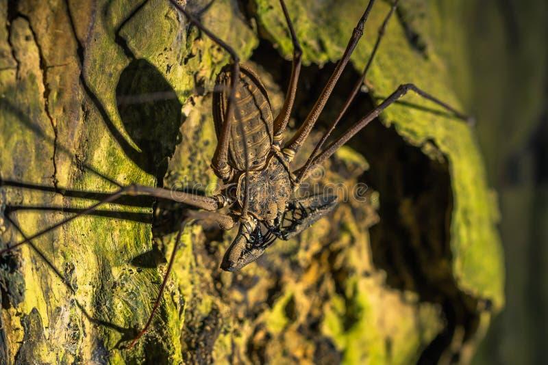 Manu National Park, Peru - 7. August 2017: Riesiges Skorpion spide stockfotografie