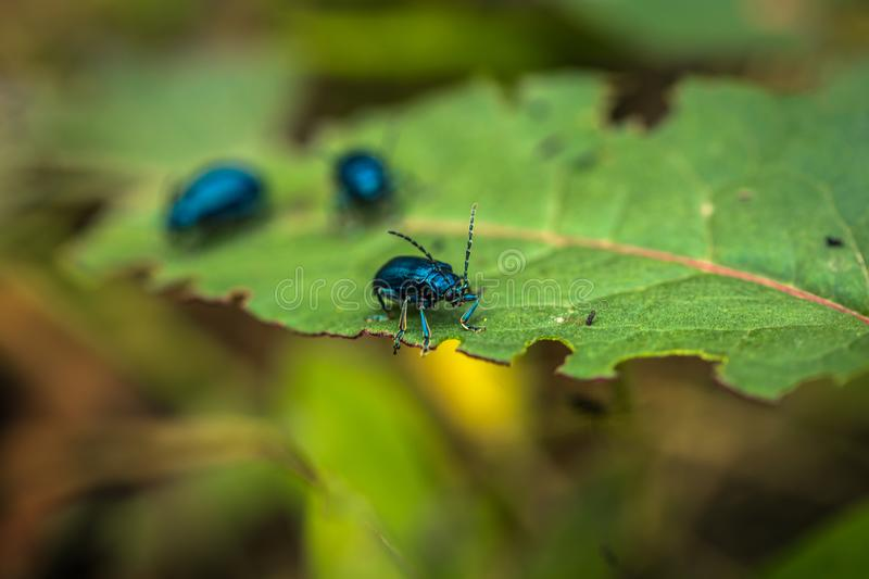 Manu National Park, Peru - August 05, 2017: Jungle beetles in Ma. Manu National Park, Peru - August 05, 2017: Some Jungle beetles in Manu National Park, Peru royalty free stock image