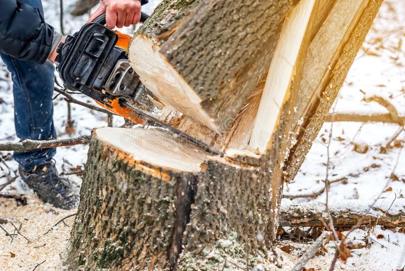 Manual chainsaw. Man hands, saws a tree in the woods in winter a. Manual chainsaw saws a tree in the woods in winter at sunset royalty free stock photo
