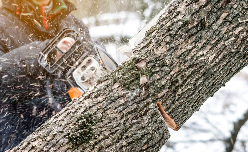 Manual chainsaw. Man hands, saws a tree in the woods in winter a. Manual chainsaw saws a tree in the woods in winter at sunset stock photography