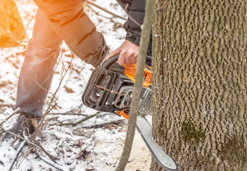 Manual chainsaw. Man hands, saws a tree in the woods in winter a. Manual chainsaw saws a tree in the woods in winter at sunset stock photo