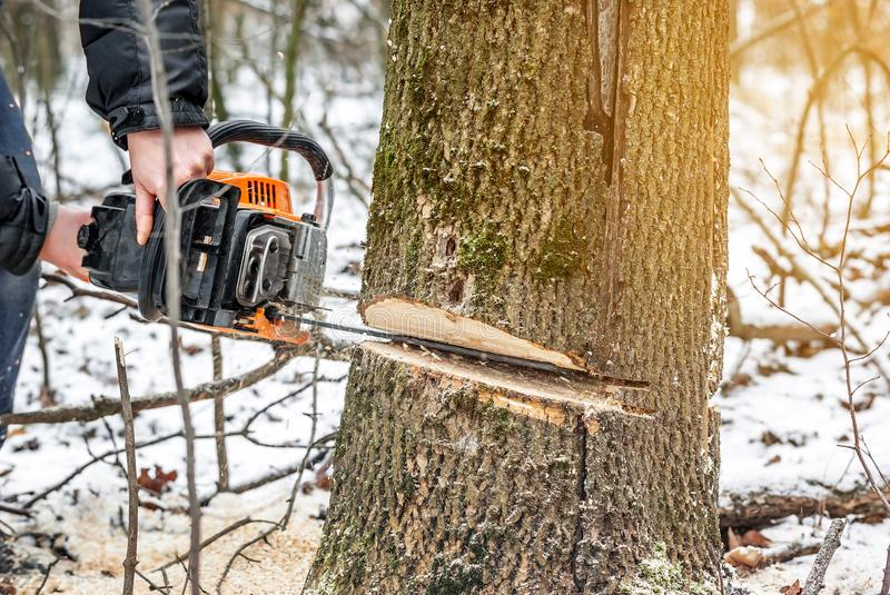 Manual chainsaw. Man hands, saws a tree in the woods in winter a. Manual chainsaw saws a tree in the woods in winter at sunset royalty free stock photos