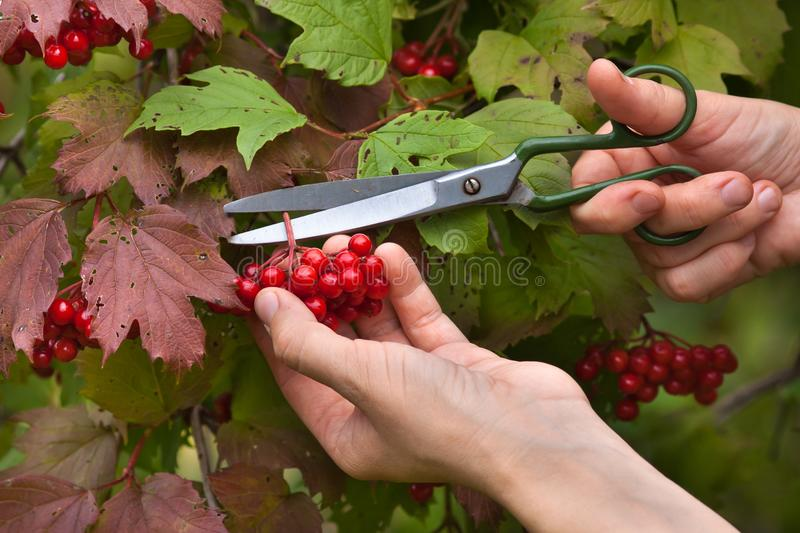 Manual harvesting of viburnum berries. Manual harvesting the berries from the snowball tree scissors, close up royalty free stock photography
