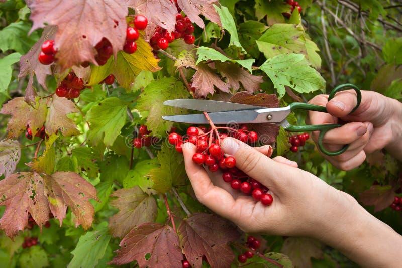 Manual harvesting of viburnum berries in the garden. Manual harvesting the berries from the snowball tree scissors in the garden stock image