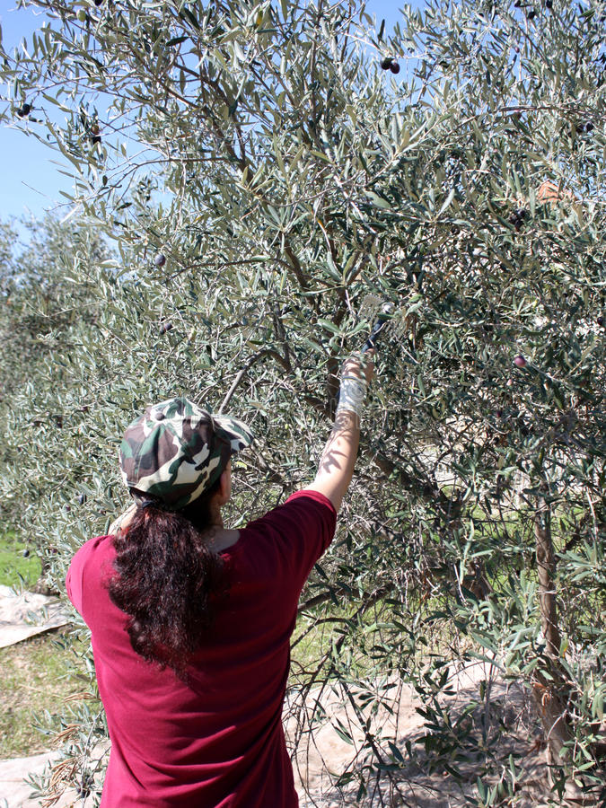Manually picking up olives. Photo of a woman picking up olives from an olive tree with the use of a comb aimed for that purpose royalty free stock photos