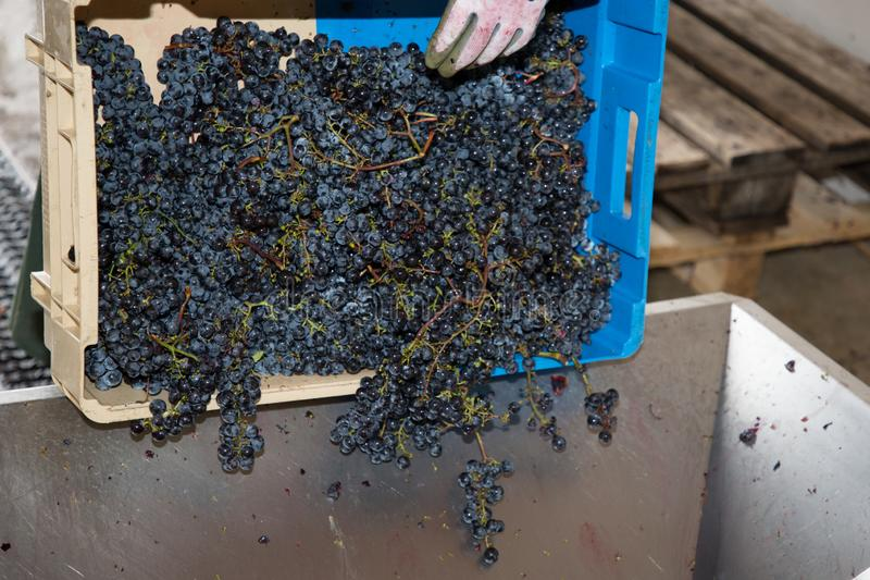 Manuell avlastning av skördade druvor vid vineriet royaltyfria bilder
