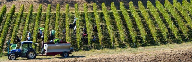Manuell plockning i den Bordeaux vingården, Saint Emilion royaltyfria bilder