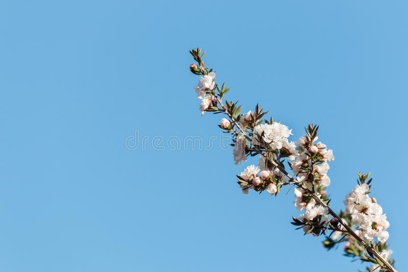 Manuka有白花的树枝杈反对蓝天 库存图片