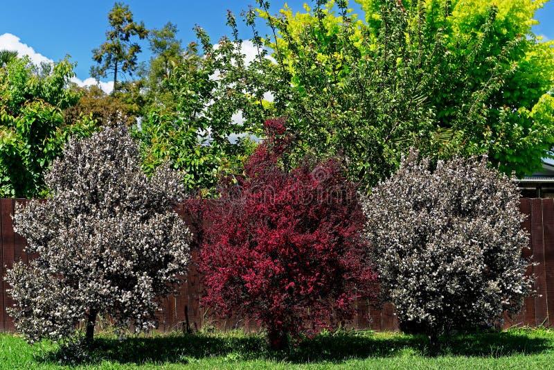 Manuka-Bäume in der Blüte, Neuseeland lizenzfreie stockfotos