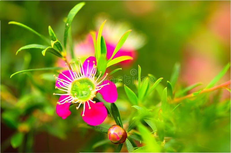 Manuka blomma royaltyfria bilder