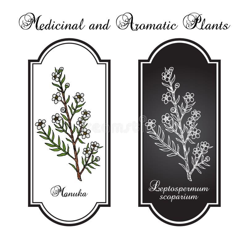Manuka Leptospermum scoparium, lecznicza roślina royalty ilustracja