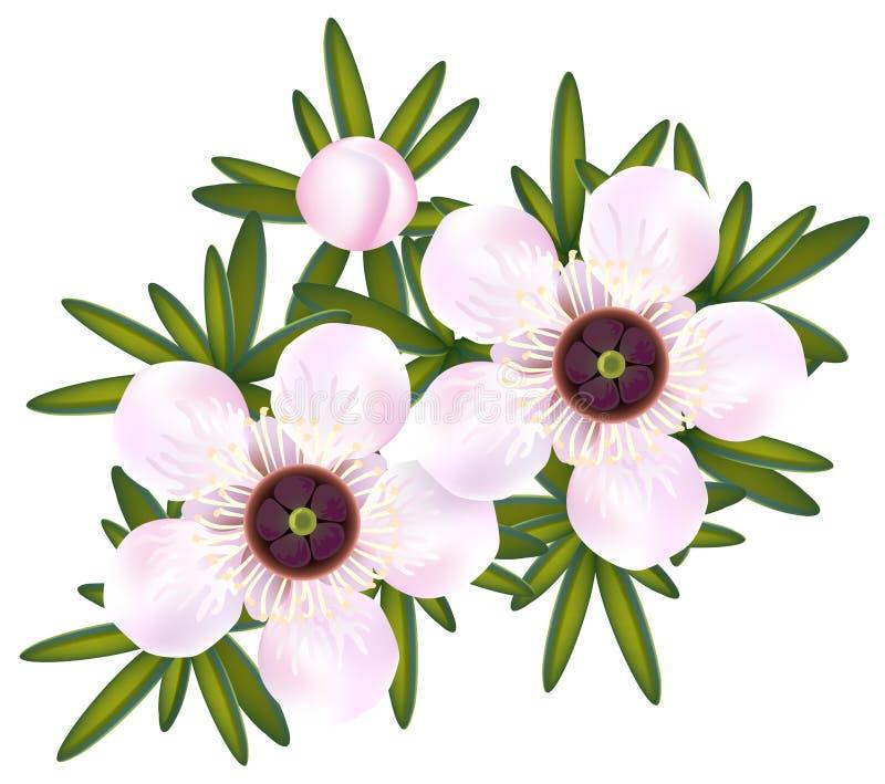 Manuka ou arbre ou juste Leptospermum de thé. illustration libre de droits