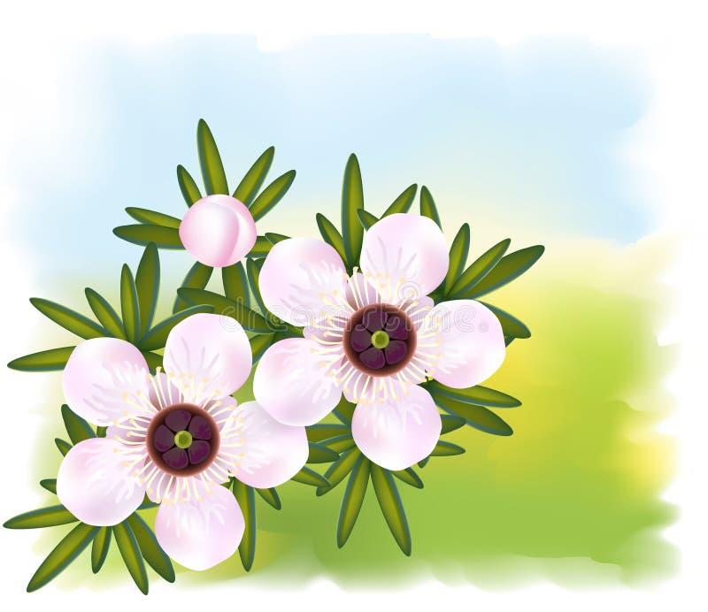 Manuka or Tea tree or just Leptospermum. vector illustration