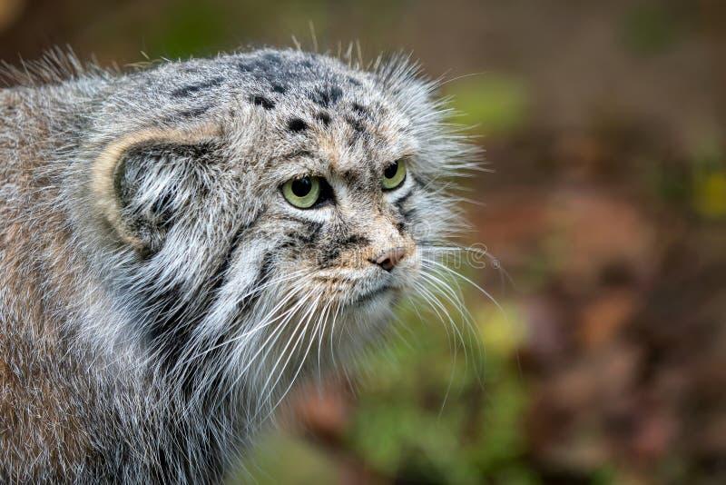 Manul of de kat van Pallas ` s, Otocolobus manul, leuke wilde kat stock fotografie
