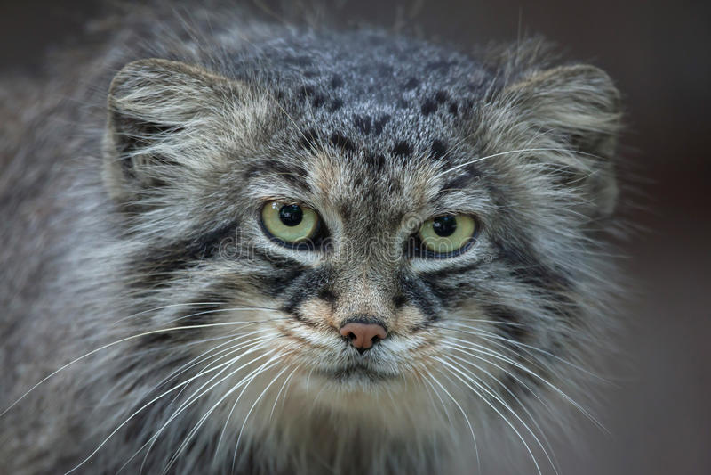 Download Manul Otocolobus кота ` S Pallas Стоковое Фото - изображение насчитывающей естественно, wildcat: 81810190