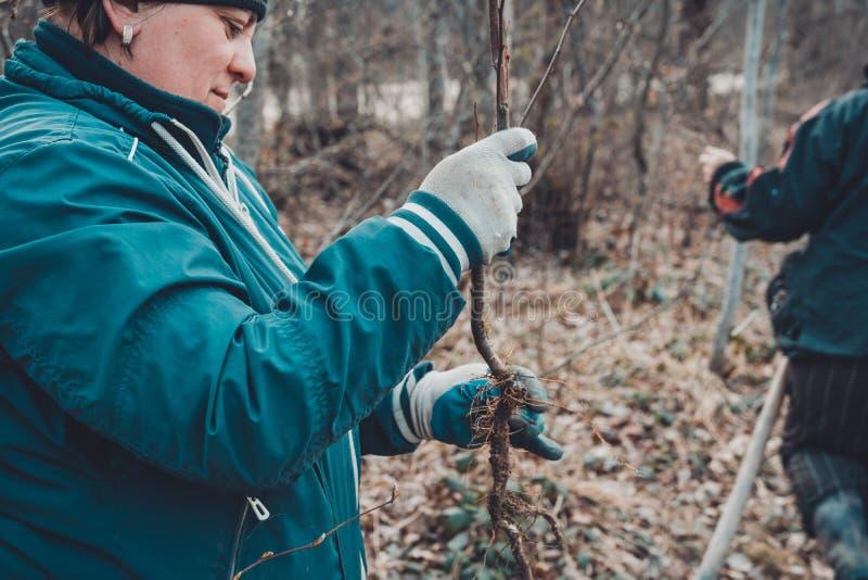Manv?xter ett litet tr?d, handh?llskyffel gr?ver det jordnings-, natur-, milj?- och ekologibegreppet fotografering för bildbyråer