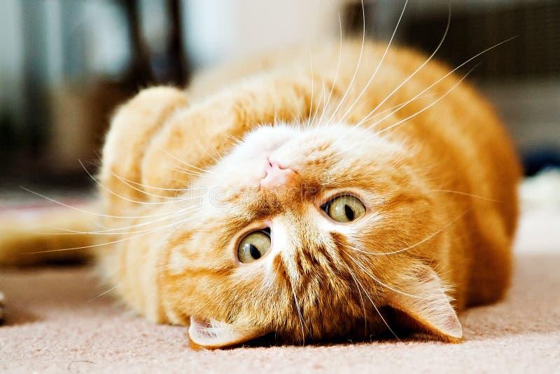 manx kattkiwi arkivbilder