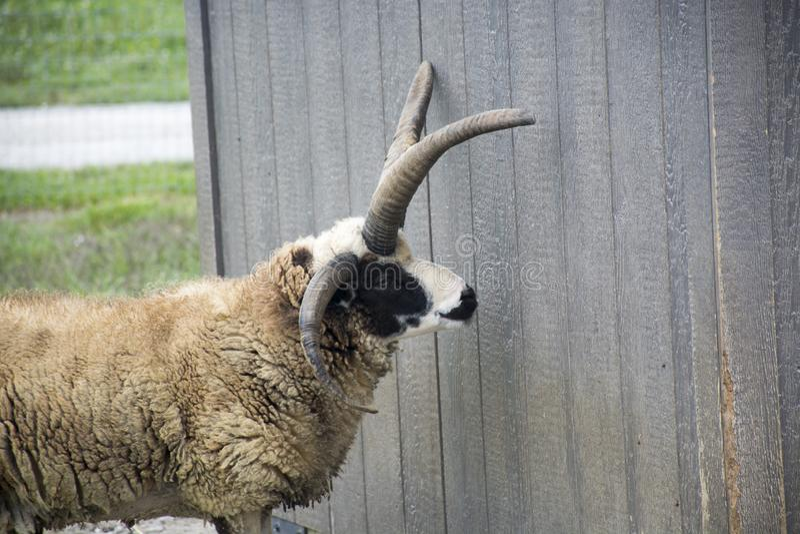 Manx Loaghtan goat stock photos