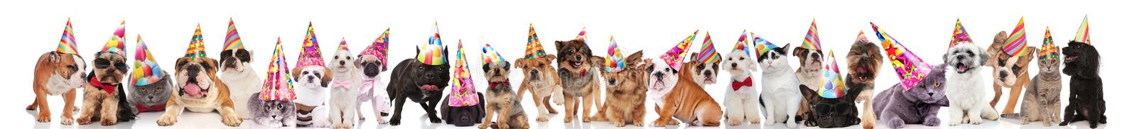 Many adorable cats and dogs ready for birthday party. Wearing birthday caps, standing, sitting and lying on white background royalty free stock photography