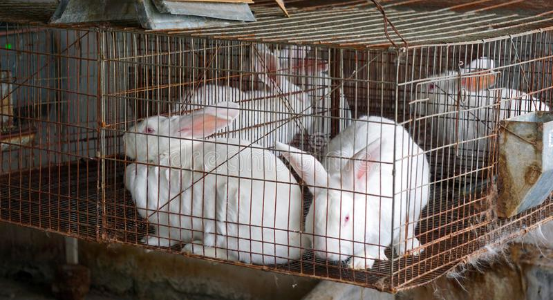 Caged white bunnies stock images