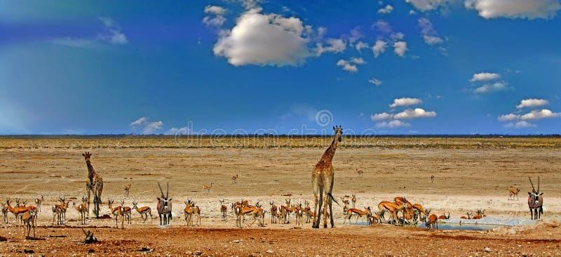 Many animals around a waterhole in Etosha with giraffe, Oryx and springbok. Panorama view of a busy waterhole in Etosha National park with Graffe, Gemsbok Oryx royalty free stock photos