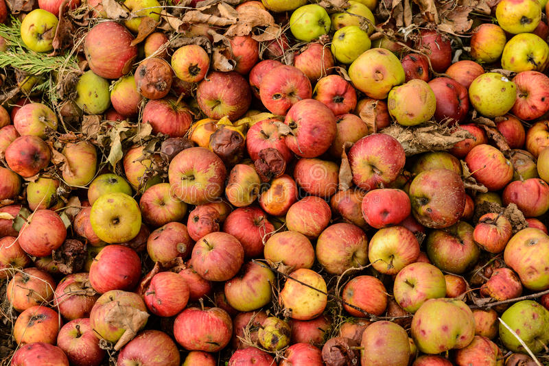 Many apples rotting on the ground. Many apples fallen on the ground and rotting stock photos