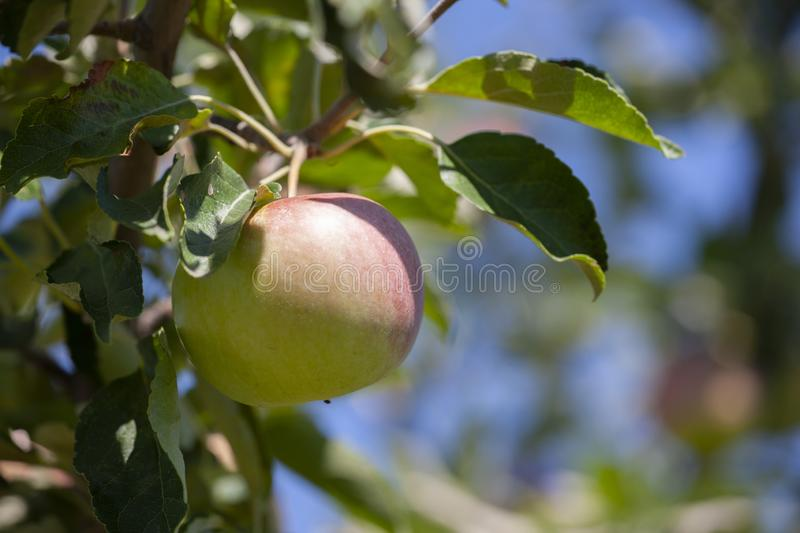 Many apples on the trees mature, close-up. Limited depth of field stock photography