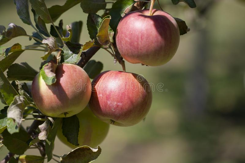 Many apples on the trees mature, close-up. Limited depth of field stock image