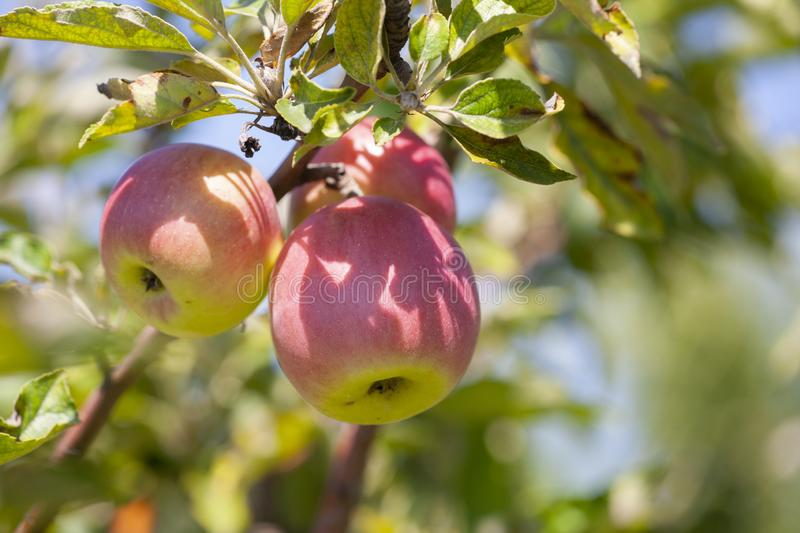 Many apples on the trees mature, close-up. Limited depth of field royalty free stock image