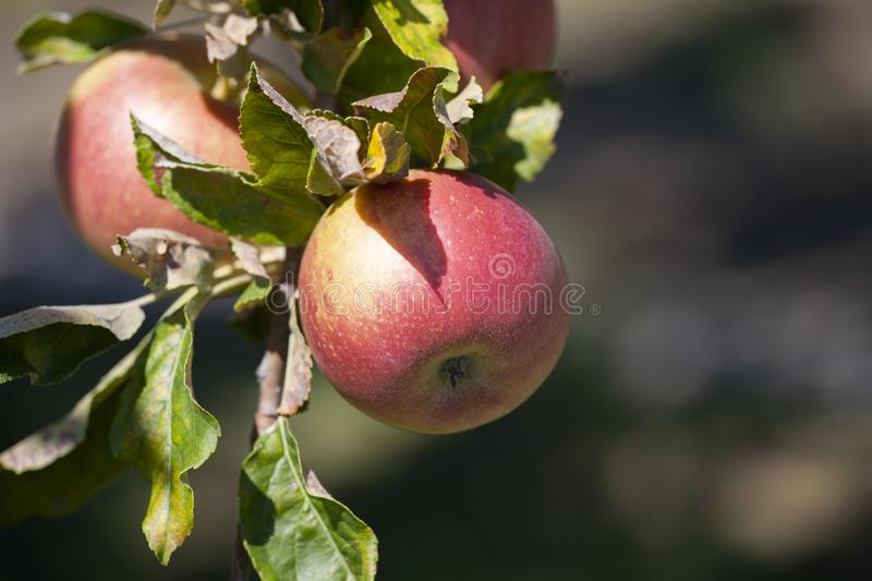 Many apples on the trees mature, close-up. Limited depth of field royalty free stock photo