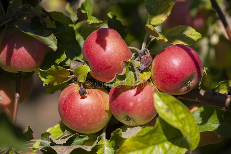 Many apples on the trees mature, close-up. Limited depth of field stock images