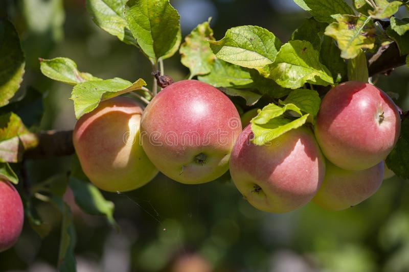 Many apples on the trees mature, close-up. Limited depth of field stock photo