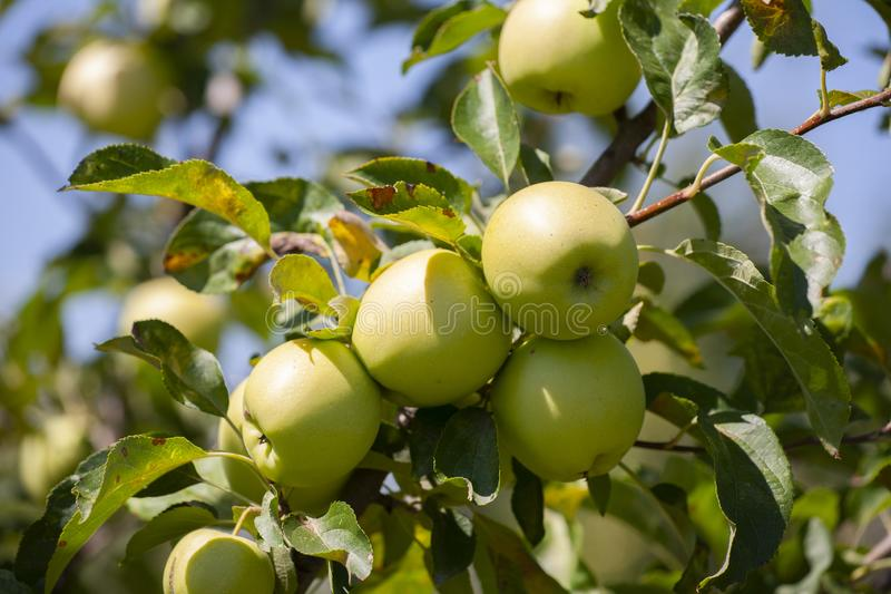 Many apples on the trees mature, close-up. Limited depth of field royalty free stock photography