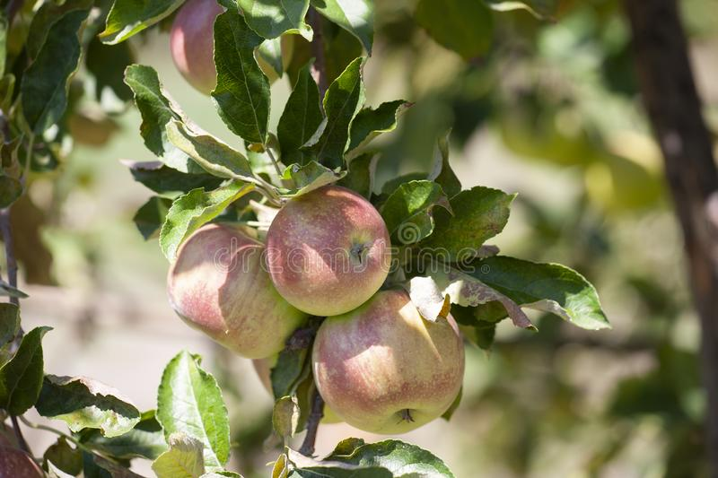 Many apples on the trees mature, close-up. Limited depth of field royalty free stock images