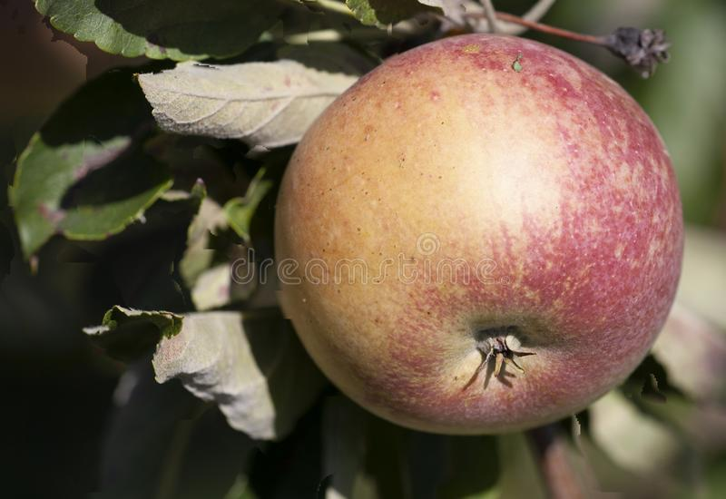 Many apples on the trees mature, close-up. Limited depth of field royalty free stock photos