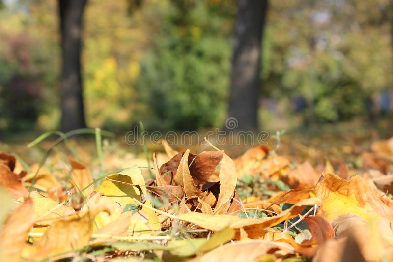 Many autumn leaves in the park, forest. Many autumn leaves photographed from frog perspective, natural blured background royalty free stock photography