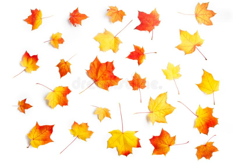 Many autumn maple leaves isolated on white background royalty free stock photography