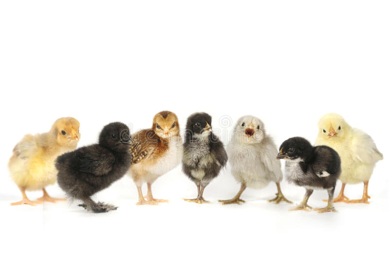 Many Baby Chick Chickens Lined Up on White. Multiple Baby Chick Chickens Lined Up on White royalty free stock photos