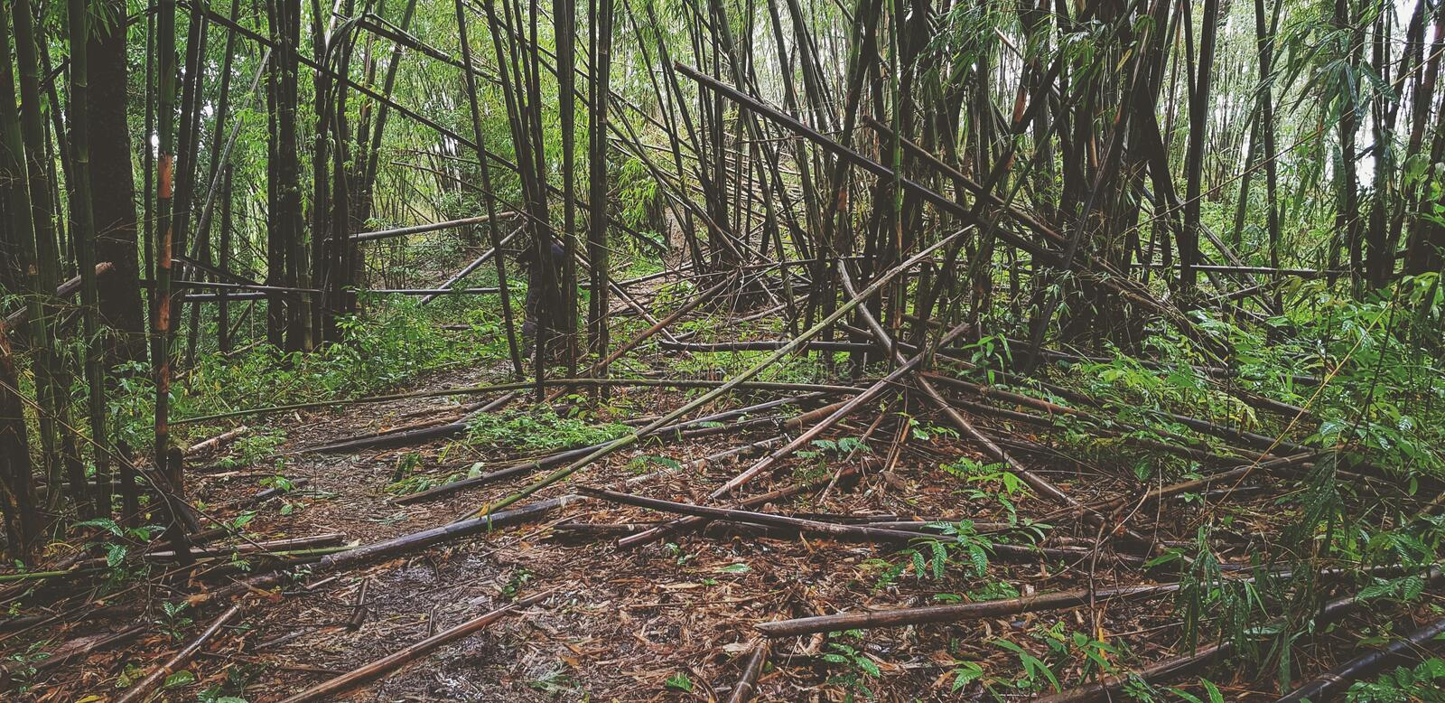 Many bamboo trees in the deep tropical forest or jungle fell in the forest because of the natural monsoon storm, disaster or human. Cut them in vintage tone royalty free stock image